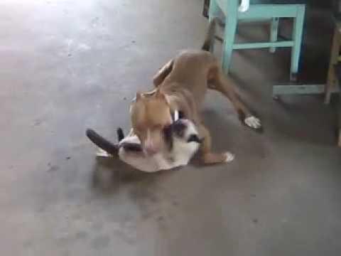 Pitbull quase come o gatinho