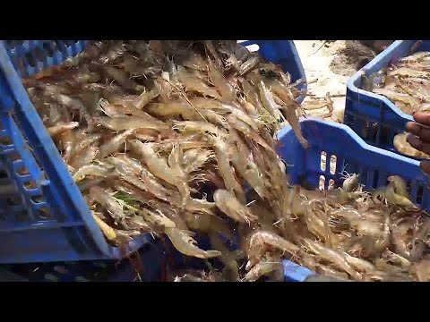 Shrimp Fishing | Prawns Fishing | Prawns Catching Videos