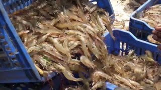 Shrimp Fishing | Prawns Fishing | Prawns Catching Videos
