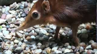 Giant Elephant Shrews!