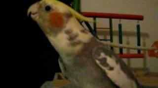 Cockatiel sings