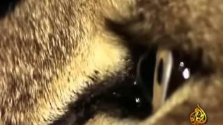 HD عالم الحيوان الاسود   الجزيرة الوثائقية   10