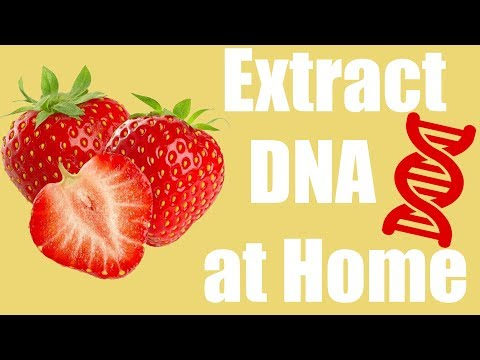 Extract DNA from a Strawberry at Home Cool Science Experiment