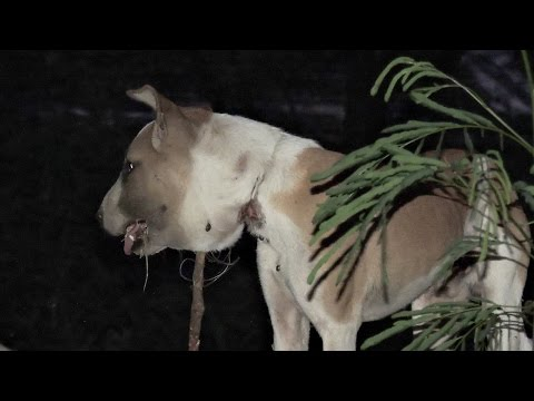 Dog's shocking injury from strangling on wire noose