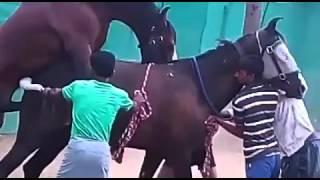 Marwari horse matting Indian breed war horse