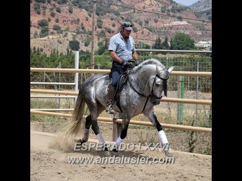 ESPERADO LXXVI PRE Hengst stallion www.andalusier.com