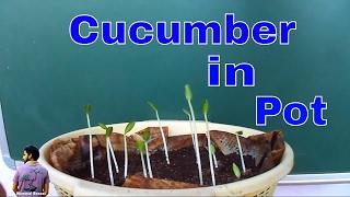 ऐसे उगाये  गमले में खीरा सिर्फ 4  दिन में /How to Grow Cucumber within 4 Days / MammalBonsai