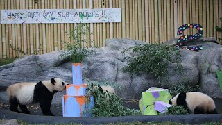 Rare Twin Pandas Feast on Bamboo Cake With Mom's Help at Second Birthday Party