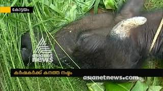 Cattles dies due to the Flood in Kottayam