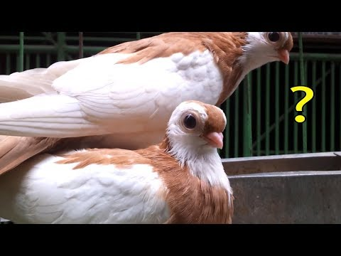 Xxx Mp4 Cute Pigeon Name And Price Video কবুতরের দাম জানুন Fancy Kabutar Palon 3gp Sex