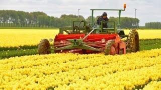 Fendt F 231 GT - Tulpen koppen / Topping tulips in Holland