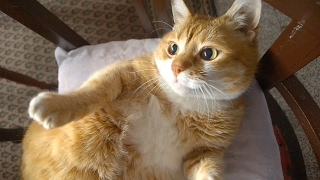Munchkin Cat – Purrfect Cat Breed