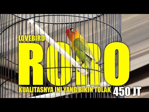 RORO ngekek panjang satu sesi taklukkan lovebird konslet