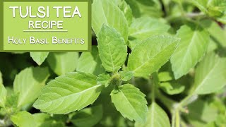 Tulsi Tea Recipe and Holy Basil Benefits