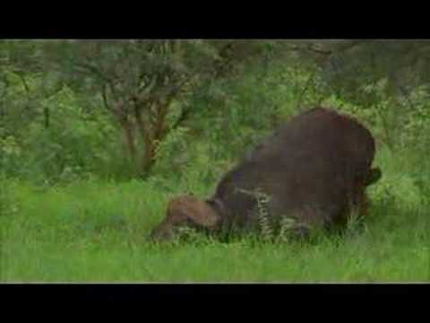 Lion and buffalo 22hr ordeal