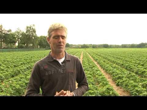 Kako se uzgajaju jagode u Holandiji