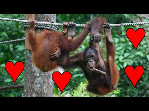 Juvenile Orangutan Practicing Sex