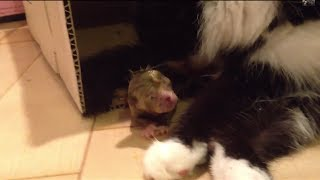 The cats immediately after childbirth 出産直後の母猫と赤ちゃん猫