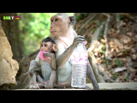 Amazing Monkeys mating Funny - Monkeys meeting tourist in Siem Reap Angkor