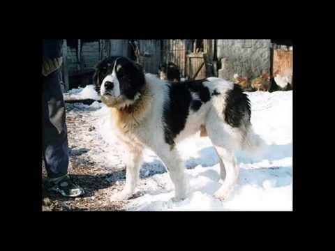 Българско овчарско куче БОК