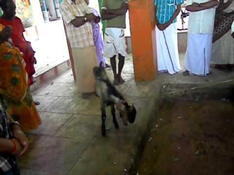 Goat Cutting in Karuppusamy Temple Devadanapatti
