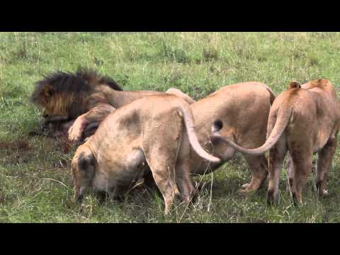Lions fight over warthog