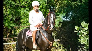 Stallion  Marwari (horse riding) videography