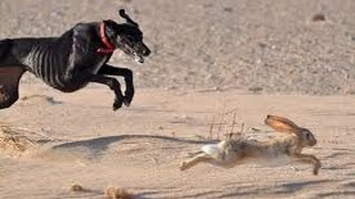 Desert hunting by saluki #Natural Life