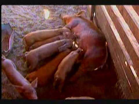 Record Rural Conheça a criação de porcos caipira no sistema extensivo em MS