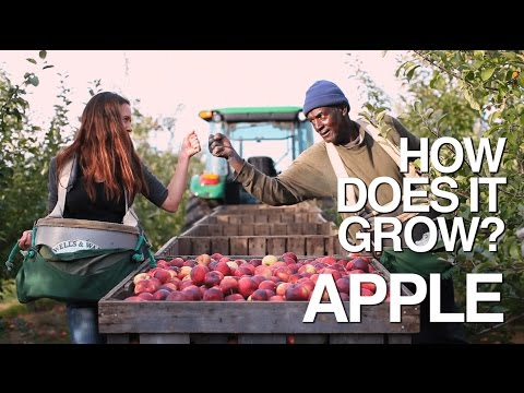 APPLE How Does it Grow