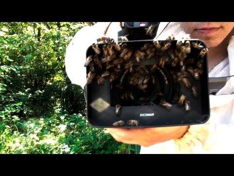 где лучше ловить рои пчел