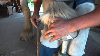 First time hammer clinching. - Draft Horse