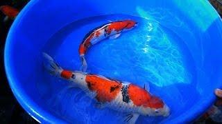 Koi Carp Male and Female Fish Identification 1 of 3
