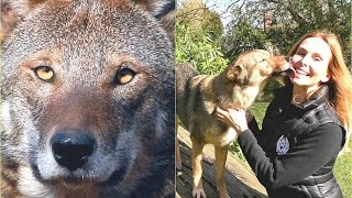 RED WOLVES - One Of The World's Rarest Wolves