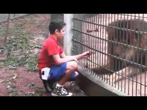 Menino atacado por tigre em zoológico Criança perde braço após ataque de tigre