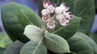 हर बीमारी का काल है आक का पौधा | Health Benefits Of Calotropis Gigantea | Aak Ke Fayde |