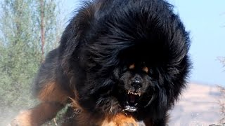 Top 10 Most Dangerous Dogs In The World 2016