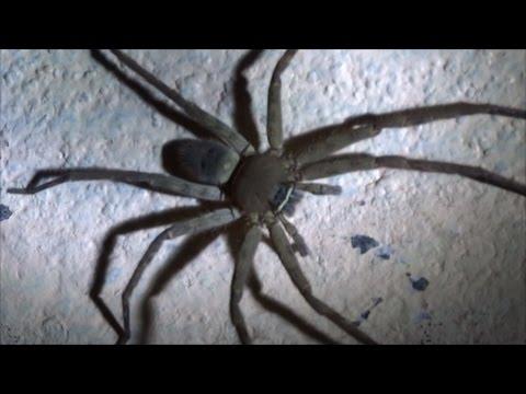 BIG HUNTSMAN SPIDER, BIG HAIRY SPIDER IN THAILAND,, SPIDERS IN THAILAND,  HUNTSMAN