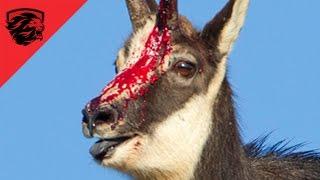 ► Eagle vs Mountain Goat  - THE RAMBO GOAT - animal fight 2016