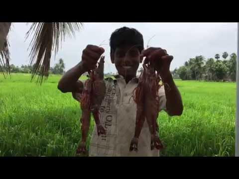 Cooking Big Prawns in My Village - Big Prawn kulambu - Traditional Way of Cooking Prawns