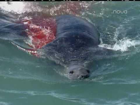 Orcas devorando a Elefante Marino