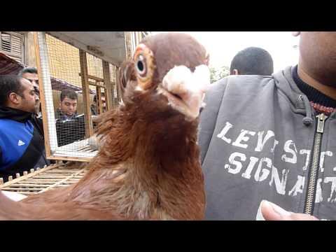 Egyptian pigeon market Cairo