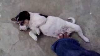 My Pet Dog TOMMYY . Location: Bogra, Mokamtola