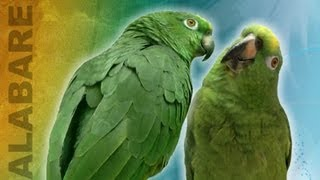 Unbelievable Singing parrot - parrots that sing a song, talking parrot