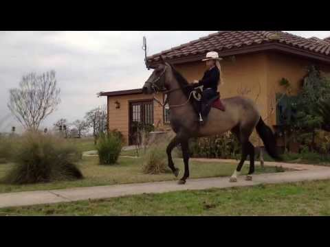 A 7 year old girl riding Colombian Paso Fino horses 1