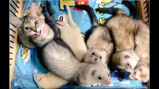 Adorable Little Kitten Called Komari Was Rescued, Now She Thinks She's A Ferret