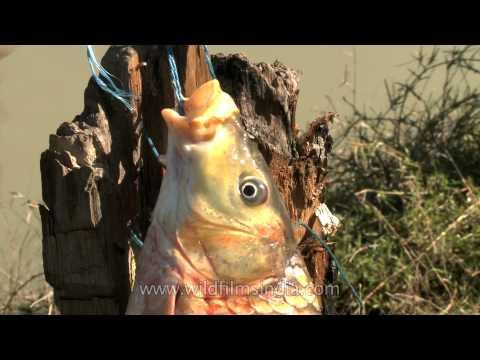 Fish - What a catch at Doyang river, Nagaland
