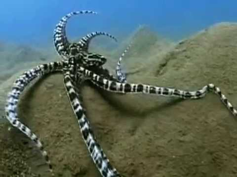 This Octopus Can Transform Itself Into Any Type Of Fish Absolutely Astonishing DIY Creative