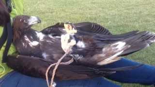 イヌワシ、リラックスタイム/golden eagle having a relaxing time