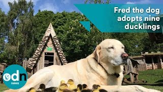 Fred the dog adopts nine adorable baby ducklings